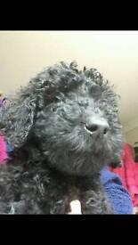 10 weeks and Ready KC Registered Standard Poodles