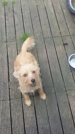 2 year old jack russell x chihuahua x yorkie