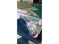 Rat. Chinchilla cage