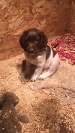 Springer spaniel puppy (boy) ready now liver and white