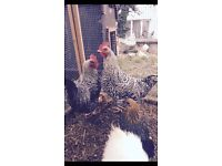 2 chickens both roosters needing new homes