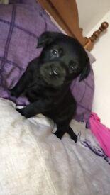Kc papered Labrador pups