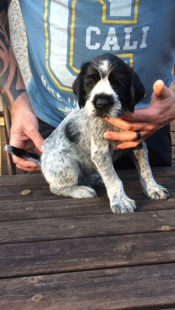 German Wirehaired Pointer X Labrador Puppies In Ayr South