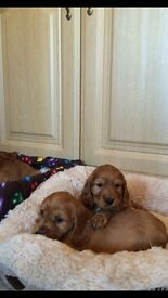 IKC PURE BREED GOLDEN COCKER SPANIELS