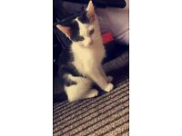 Black and white kitten free to a good home. 12 weeks old litter trained
