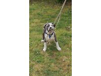 REHOMING BLUE AND WHITE WITH MERLE XL BULLY