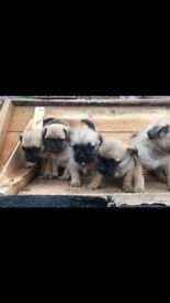 Top Class Jug Puppies For Sale!!