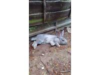 Giant Continental Rabbit
