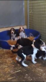 Gorgeous beagle pups for sale vaccinated and chipped