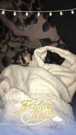 2 female kittens 14 weeks. £50 each but would like them to go together