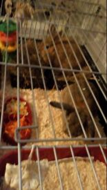 2 free 1 year old rabbits with cage