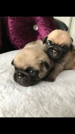BEAUTIFUL PUG PUPS FOR SALE DUE TO LEAVE ON 28th JUNE