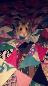 Extremely friendly Syrian hamster for sale with cage included