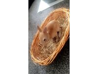 REDUCED FOR QUICK!! Rex Rabbits Ready