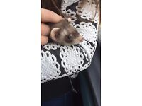 12 week ferret girl