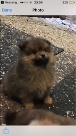 12 week full bred Pomeranian puppy for sale