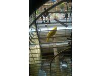 kakariki parakeets for sale