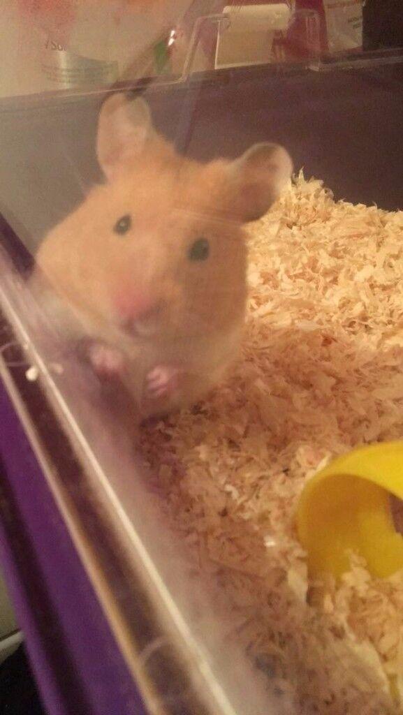 Fluffy syrian hamster