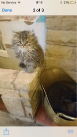 Persian kittens for sale £350 Very playful, litter trained, worned and flee checked