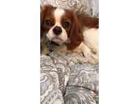 Adorable 11 month old King Charles spaniel