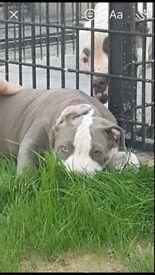 Stunning xl bully puppies ABKC
