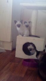 Burmeese kittens for sale