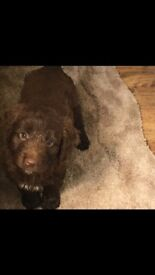 Chocolate sproodle puppies