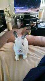 Netherland Dwarf White Rabbit 2years old great with kids