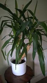 Large yukka type plant