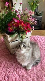 Stunning silver Mainecoon kittens