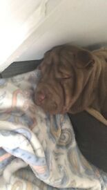 Shar pei puppy born on 25 December selling due to sudden move