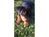 Purebred Rottweiler puppies looking for theirbloving new homes