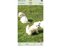 Bichon frise puppys for sale