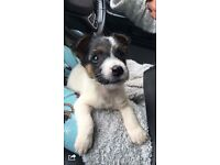 jack Russell boy pup 11 weeks old