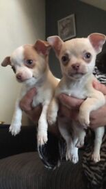 Chihuahua puppies, lilac fawn and lilac fawn pied. Non KC.