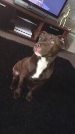 6 month Staff puppy Lola