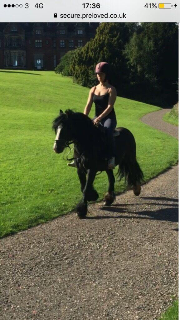 Beautiful black gelding