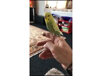 Finger tame budgie+cage
