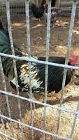 Beautiful easter egger rooster