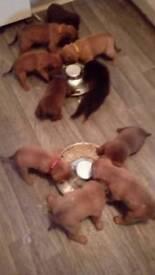 Mastiff pups UDATE