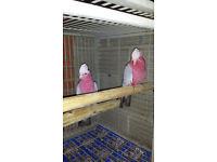 pair of galah cockatoo's