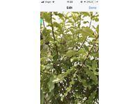 New Zealand ever green lemonwood
