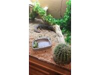 Adult Uromastyx with full viv set up