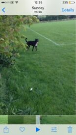 Staffy cross patterdale pup 8 month old
