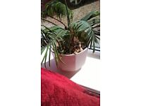Cyad house plant