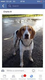 Charlie 7yr old harrier/ beagle free to loving home