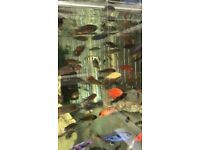 Below is a list of some 10 Haps and peacocks Malawi fish I have for sale.
