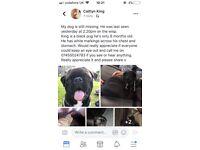Lost puppy pug (wisp Edinburgh)