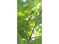 Mature Walnut tree, about 20 feet, producing walnuts, good time to replant - make a good offer!