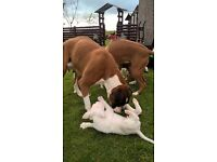 Pedigree kennel club white male boxer pup for sale